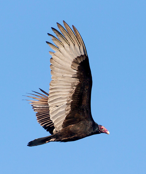 The noble Turkey Vulture in flight
