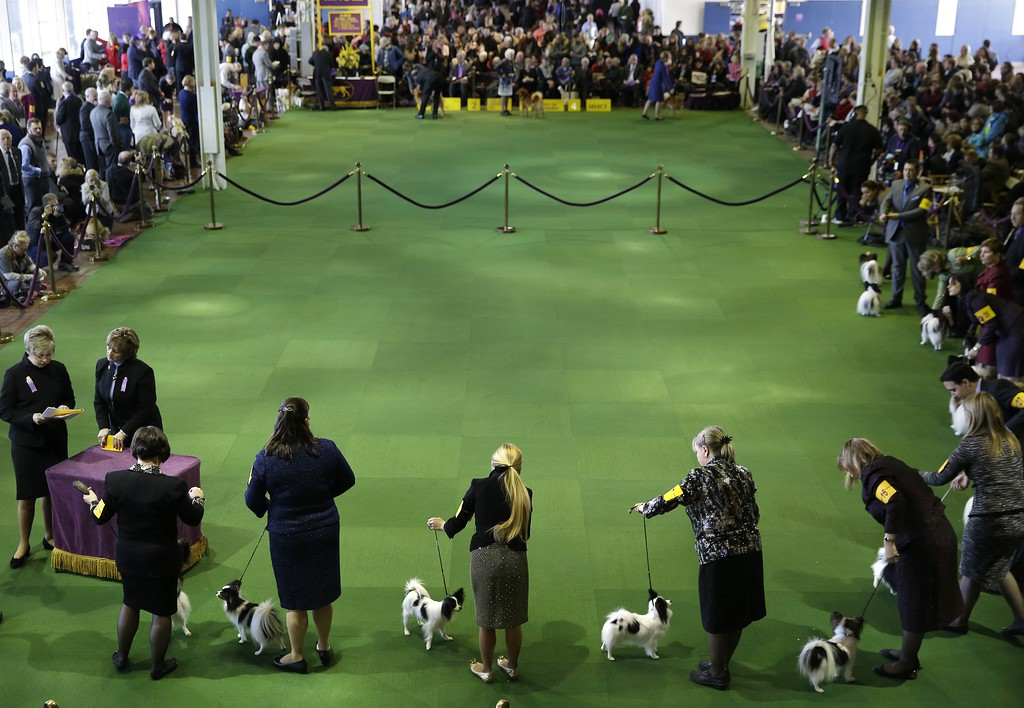 . Papillons compete at the Westminster Kennel Club show in New York, Monday, Feb. 16, 2015. The show started Monday morning and, to the owners of the 2,711 pooches set to take part, it\'s the Super Bowl, World Series and Daytona 500 of dogdom in the United States. (AP Photo/Seth Wenig)