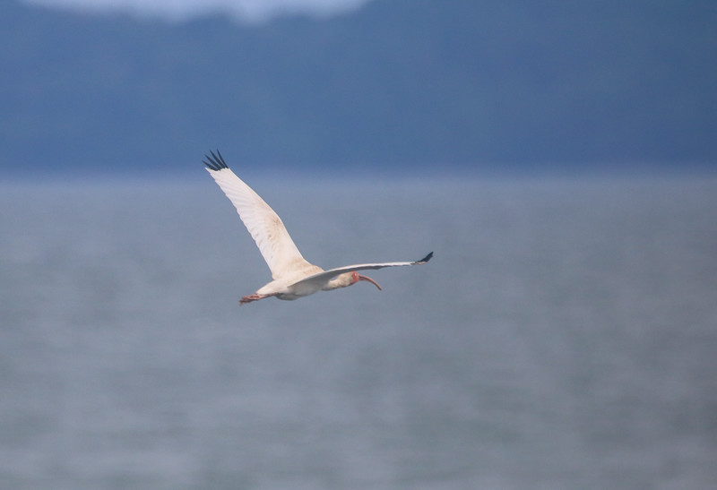 White Ibis in Flight over the ocean