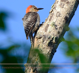 Female Red-Bellied Woodpecker, Anahuac Refuge, TX