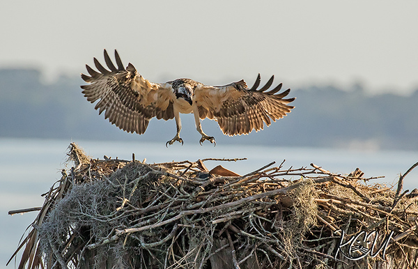 Osprey Fledge 2018-The Last to Go