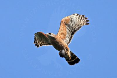 Hawk, Red-Shouldered