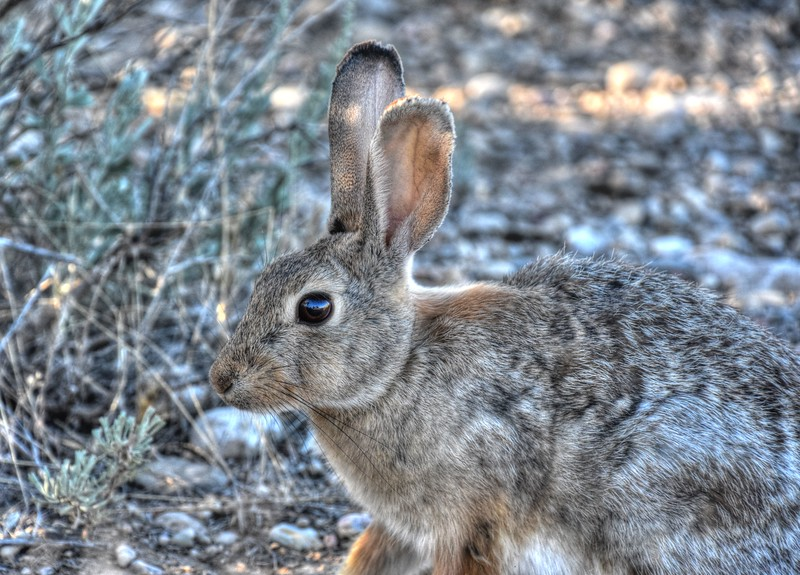 JackRabbit-Wyoming-Beechnut-Photos-rjduff.jpg