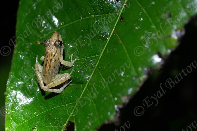 Frog on a leaf Costa Rica     EYL05575.jpg