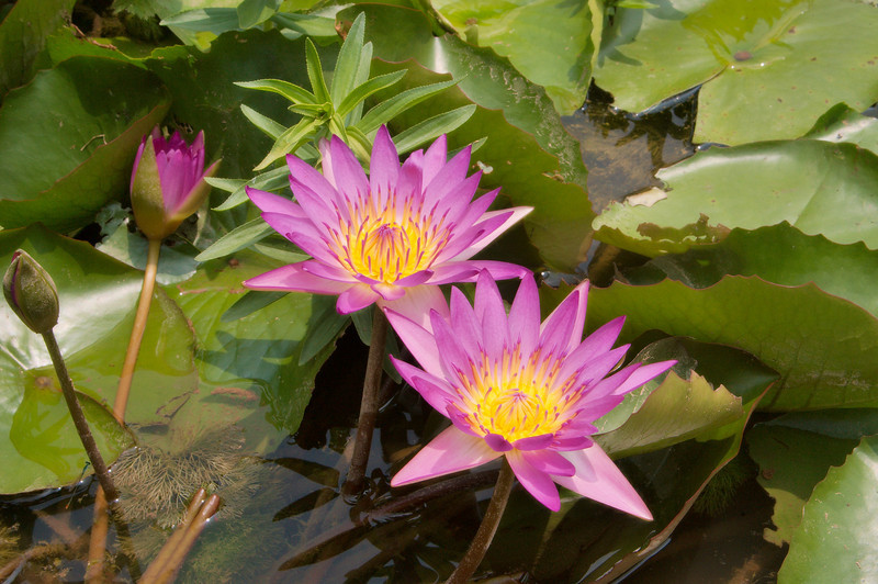 20090901_3175 water lilies