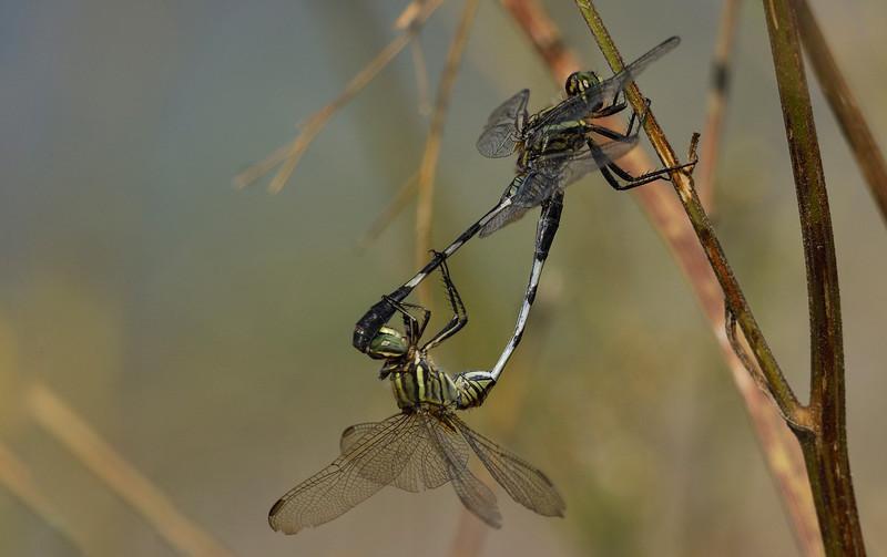 Dragonflies-mating-magadi.jpg