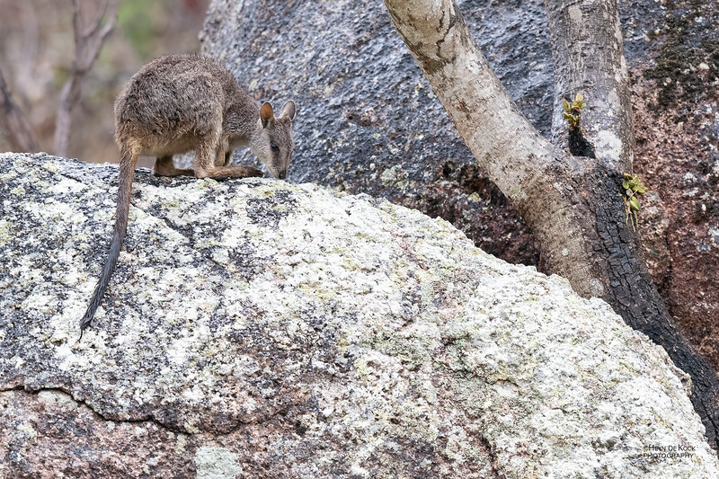 Mt Claro Rock-wallaby, Hidden Valley, QLD, Jan 2020-6.jpg