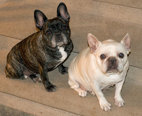 Our French Bulldogs