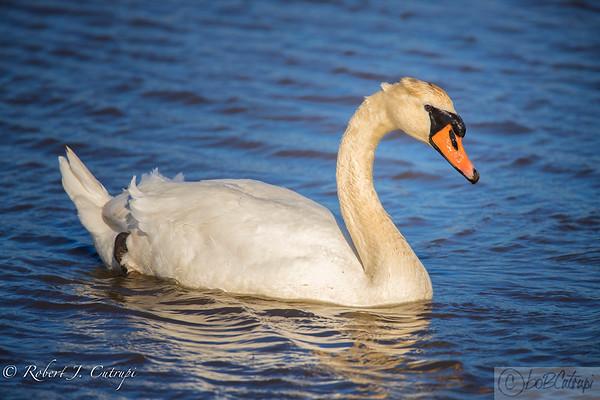Swans 2018