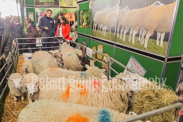 Welsh sheep May 19th 2015