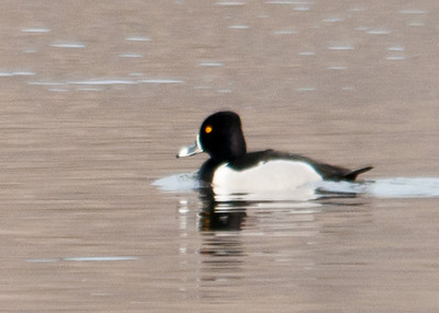 Duck - Ring-necked Duck
