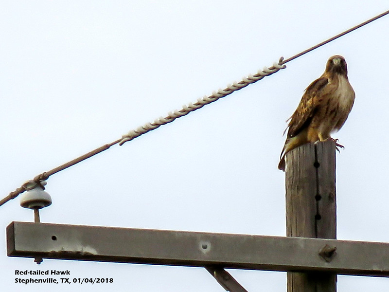 IMG_9174 3T Red-tailed Hawk Stephenville 104 1754.jpg