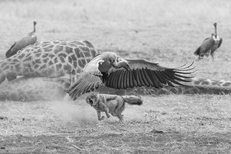 Black-backed Jackal & White-backed Vulture, b&w, Mashatu GR, Botwana, May 2017-1.jpg