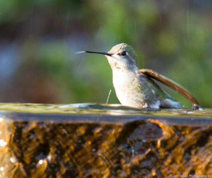 Hummingbird-2270.jpg