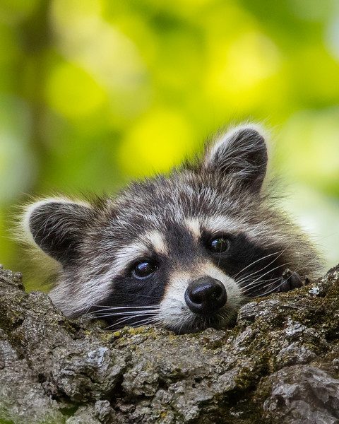 Raccoon Closeup-1.jpg