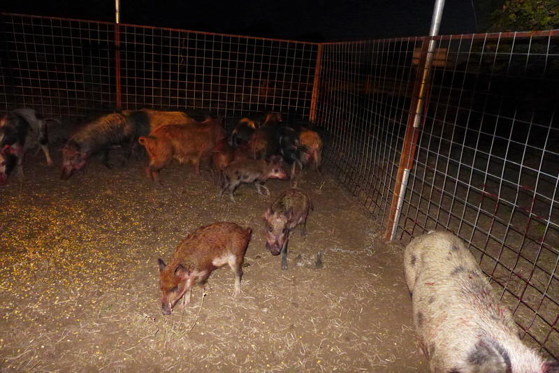 Trapping feral hogs on neighbor's ranch