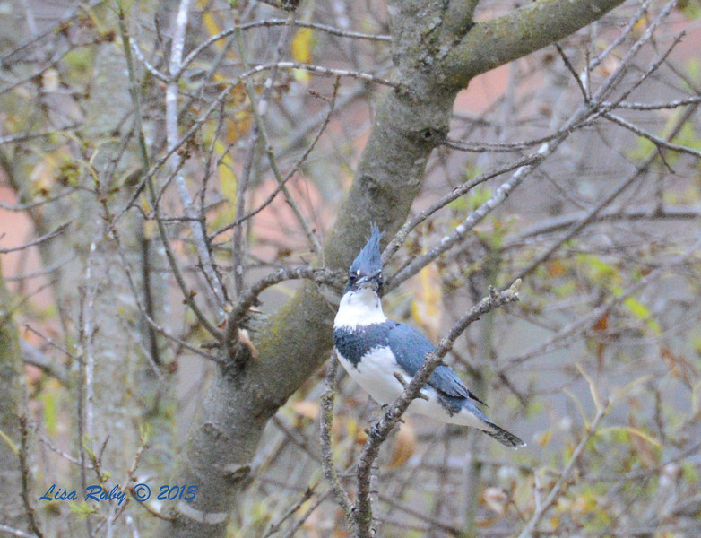 Belted Kingfisher - 12/28/13 - Woods Valley Rd, 2013 Escondido CBC