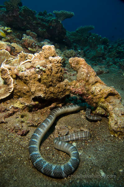 Sea Snake at Manuk, Banda Sea © Chris Mitchell