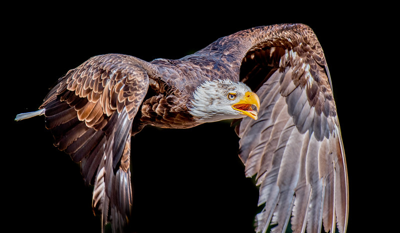 Kintzheim, Birds of prey