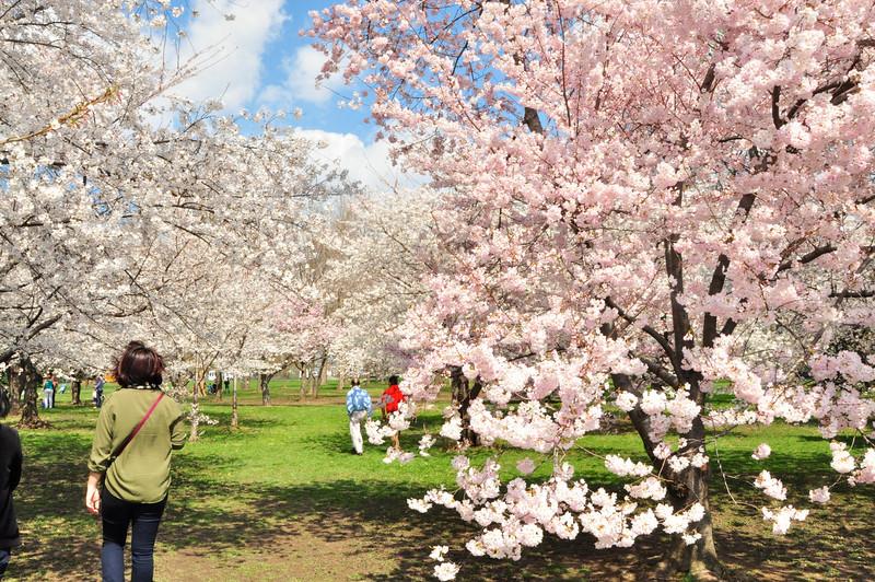 Cherry Blossoms 2014 084.jpg