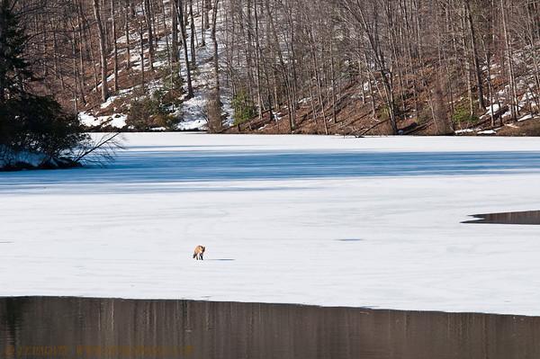 Fox on Ice-Clifton