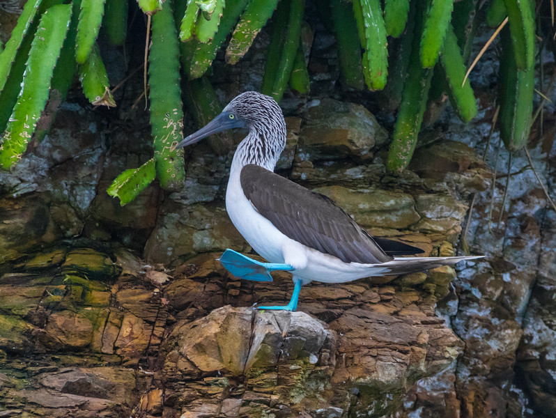 A single blue-footed booby sit on the rocks of the Pearl Island of Panama and shows its feet in a mating ritual