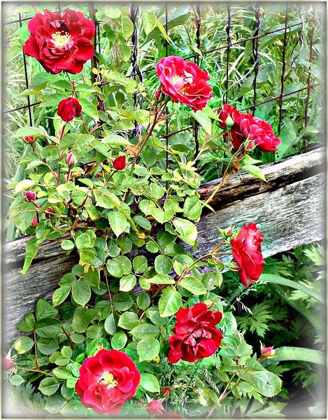n red roses.JPG