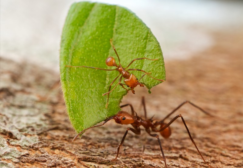 Leafcutter ant (Atta sp.)