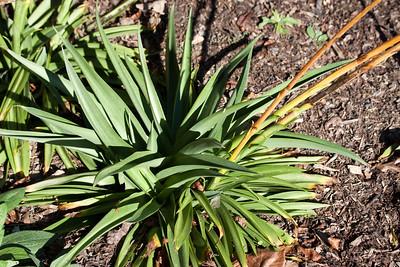 Manfreda virginica (Agavaceae)
