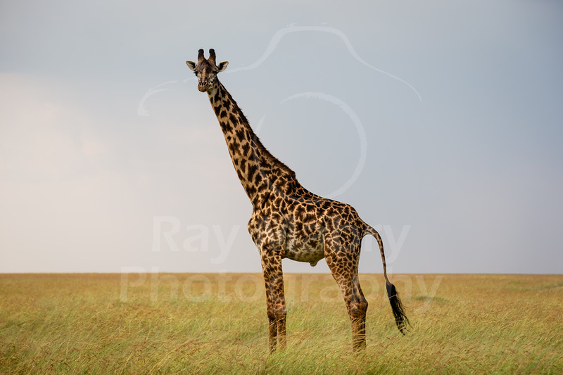 Kenya - Masai Mara