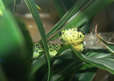 Bothriechis negroviridis