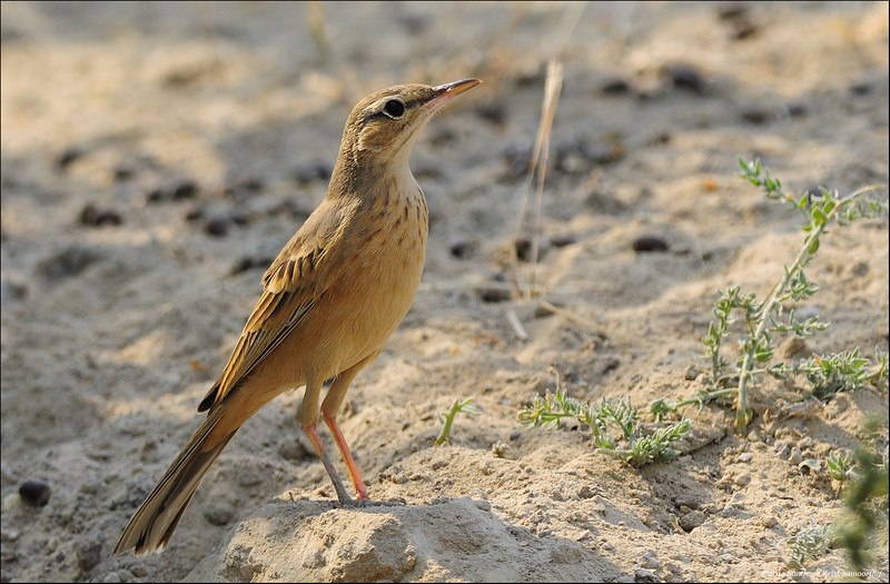 Long-billed Pipit