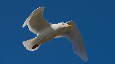 Arctic birds of Chukotka, North East Siberia
