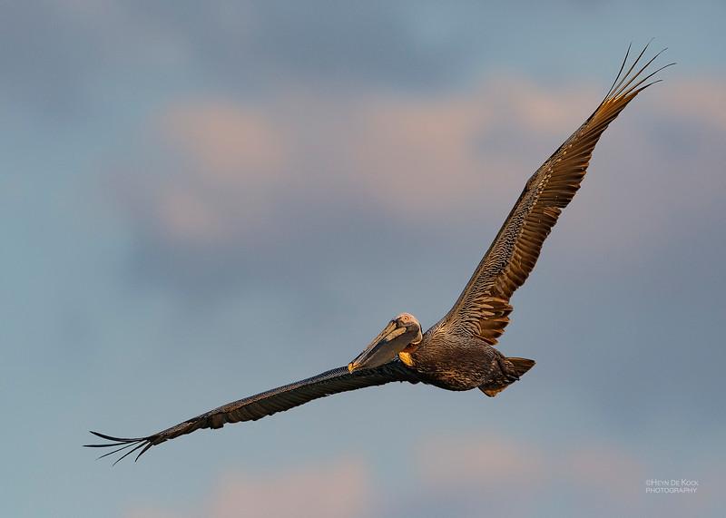 Brown Pelican, Fort De Soto, St Petersburg, FL, USA, May 2018-4.jpg