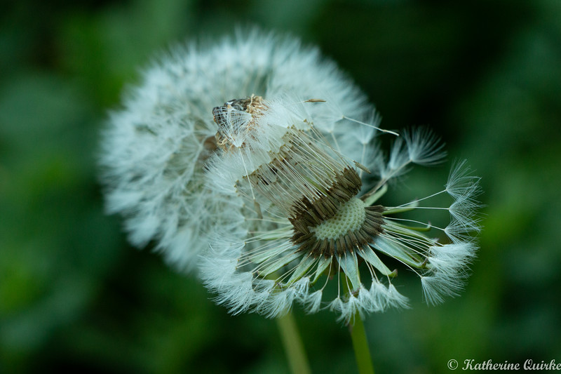 Dandelion Flower in Seed