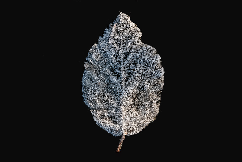 FROSTY LEAF COMPOSITE-2.jpg