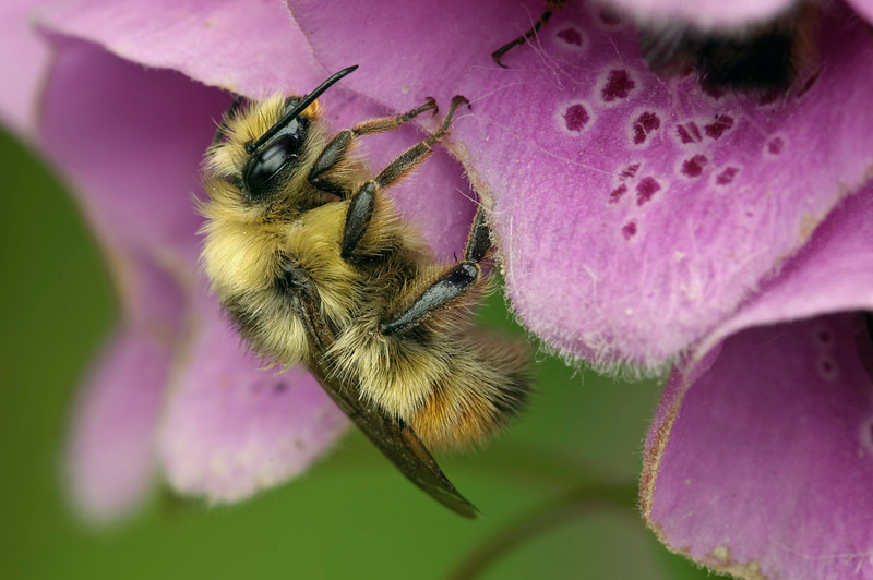 Bumble Bee hanging on for the night on some Foxglove.