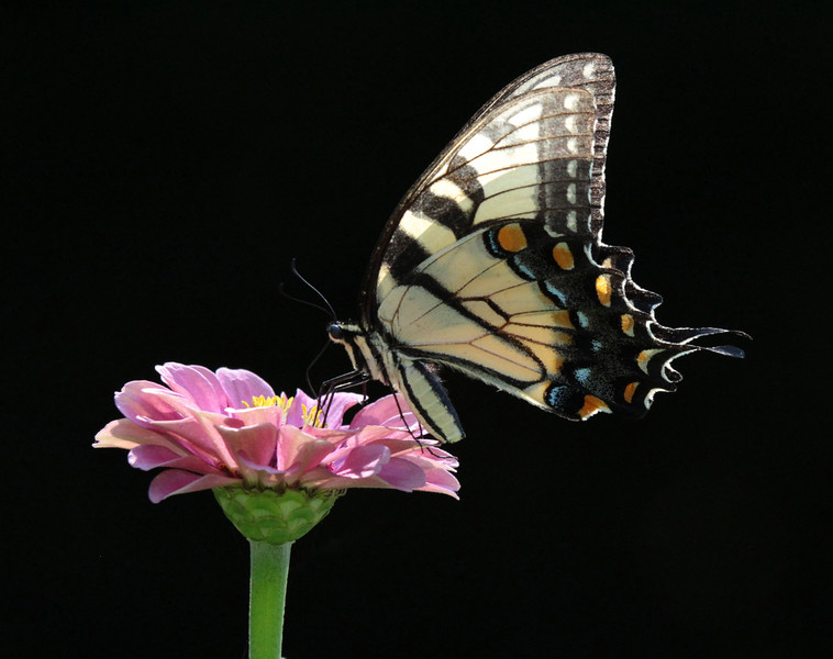leavitt_eastern swallowtail.jpg