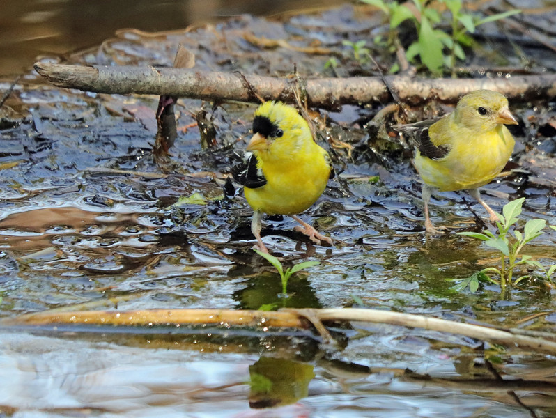 Goldfinches 23