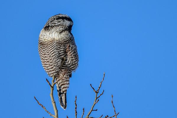 11 2013 Nov 11 Northern Hawk Owl*^