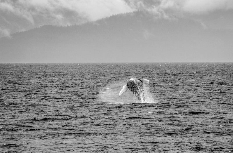 Whale jumps above sea surface