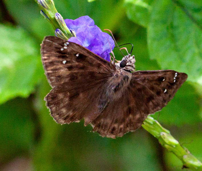 three-spotted skipper + porterweed