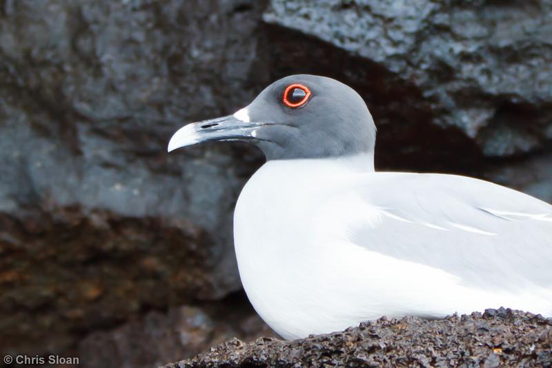 Swallow-tailed Gull adult at Prince Phillip's Steps, Genovesa, Galapagos, Ecuador (11-25-2011) - 237.jpg