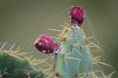 Prickly-pear, Mission