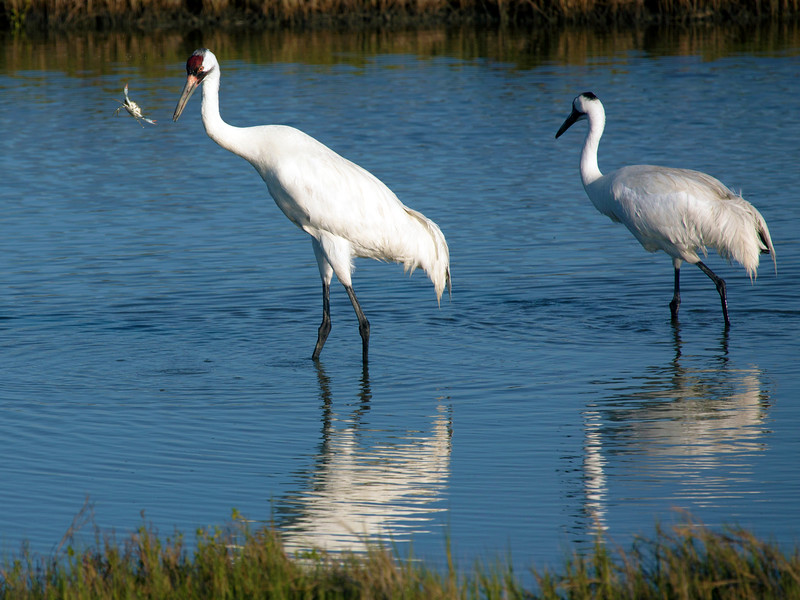 Whooping Crane struggling to hold on to a Blue Crab, Aransas Natl. Wildlife Refuge