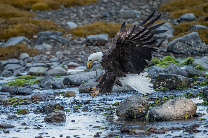 #1431 Bald Eagle