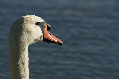 Delnor Swans