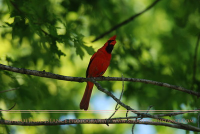 Male cardinal signals a warning by raising his crest