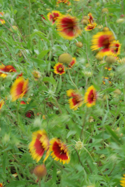 Indian blankets in the wind