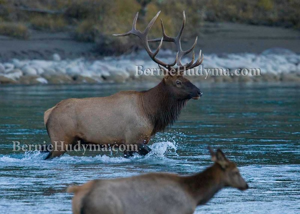 Jasper Park Elk